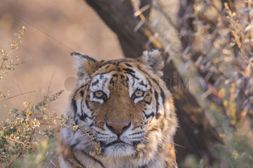Portrait of Bengal Tiger (Panthera tigris tigris) resting  Private reserve  South Africa