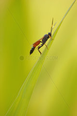 Ichneumon wasp (Stenichneumon culpator) male on a leave of sedge at the edge of a stream  in summer  in June  in Picardy - France.
