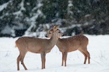 Roe deers (Capreolus capreolus) in the snow  Belgium