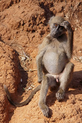 Chacma baboon (Papio ursinus) young scratching his head  Kruger  South Africa