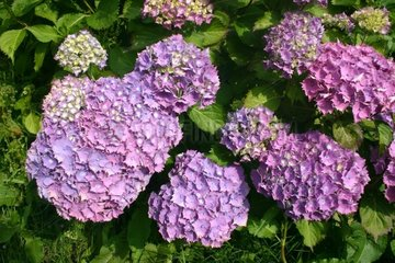 French hydrangea in bloom Brehec Côtes-d'Armor France