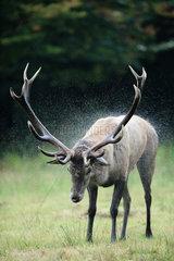 Red Deer (Cervus elaphus) male snorting  Ardennes  Belgium