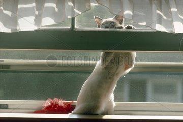 Chat Siamois derrière une fenêtre attrapant des insectes