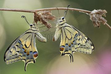 Old World Swallowtail (Papilio machaon) after mating  Luzzara Reggio Emilia Italy