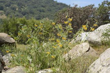 Diablada or Ortiga brava (Loasa tricolor)  Loasaceae  endemic urticating plant of Chile  Palmas de Ocoa Sector  La Campana National Park  V Region of Valparaiso  Chile