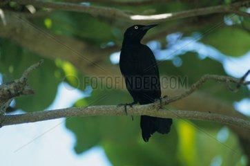 Quiscale noir mâle Porto Rico