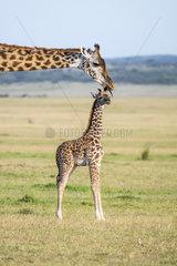 Masai Giraffe (Giraffa camelopardalis tippelskirchi)  female and its young  Masai-Mara National Reserve  Kenya