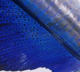 Peau de voilier de l'Indo-Pacifique