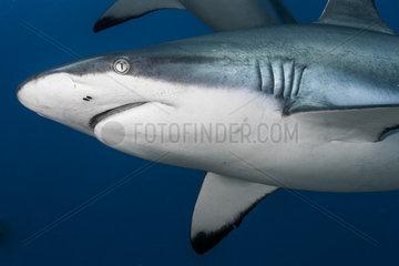Close face view Grey shark (Carcharhinus amblyrhynchos)  French Polynesia