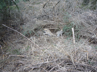 Wild boar (Sus scrofa) piglets in the bushes  Ardennes  Belgium