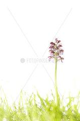 Lady orchid (Orchis purpurea)  Espagne