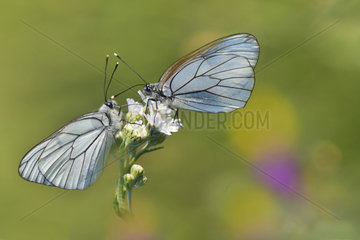 Black-veined white (Aporia crataegi) couple on a flower of Sneezewort (Achillea ptarmica) in a wet meadow in spring  Auvergne  France