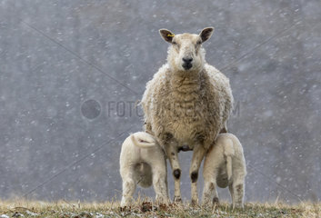 Sheep ( Ovis aries) standing in falling snow  England