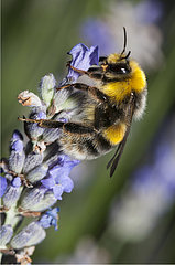 Bumblebee (Bombus hortorum) on lavender  Regional Natural Park of Northern Vosges  France