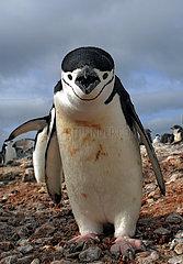 Chinstrap penguin (Pygoscelis antarcticus). Antarctic Peninsula.