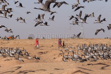 Demoiselle Crane (Anthropoides virgo) human activities (agricultural or otherwise) persist and may temporarily disrupt birds. Kichan  a village in the Marwari Jain community  whose inhabitants feed every winter since 1970  the wintering Cranes  Thar Desert  Rajasthan  India