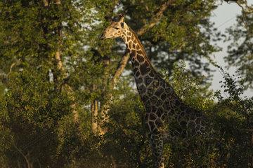 Giraffe (Giraffa Camelopardalis ) in the bush  Kruger national parc  South Africa
