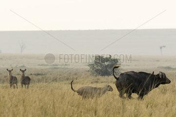 Lion (Panthera leo)  lioness attacking an African buffalo (Syncerus caffer) in front of Defassa waterbuck (Kobus ellipsiprymnus defassa)  Masai-Mara Reserve  Kenya