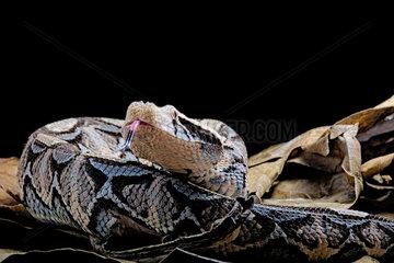 Portrait of Gaboon viper (Bitis gabonica gabonica) on black background