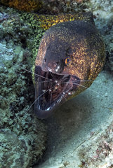 Yellow-edged moray (Gymnothorax flavimarginatus) and cleaning shrimp in the reef  Mauritius