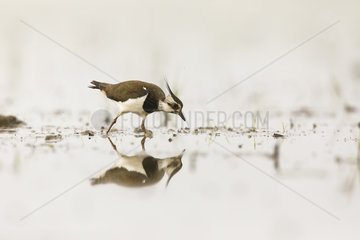 Northern Lapwing (Vanellus vanellus) walking in water in the mist  Dombes  France