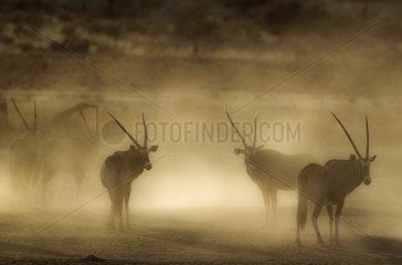 Gemsbok (Oryx gazella). Nervous and raising lots of dust in the early morning. Kalahari Desert  Kgalagadi Transfrontier Park  South Africa.