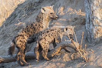 Spotted hyena (Crocuta crocuta)  young  Mala Mala game reserve  South African Republic