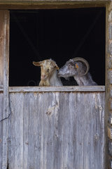 Goats in the front door of the farm  Pyrenees  Spain