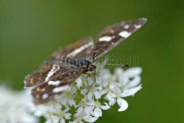 Close-up of a Map Butterfly gathering pollen on umbel France