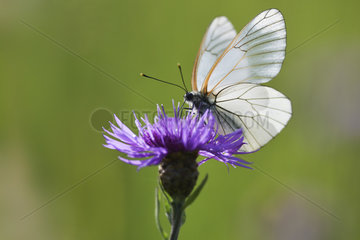 Black-veined white (Aporia crataegi) on a flower of meadow knapweed in a wet meadow in spring  Auvergne  France