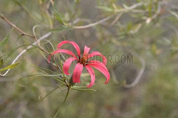 Flor de la granada (Mutisia subulata form subulata)  Asteraceae endemic to Chile  Parque nacional La Campana  V Region of Valparaiso  Chile