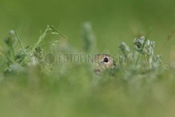 European ground squirrel (Spermophilus citellus) in grass  Romania