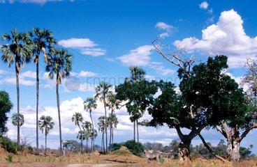 Palm trees in the National Park of Ruaha Tanzania