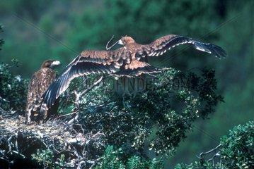 Couple d'Aigle impérial ibérique sur l'aire Espagne