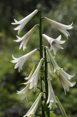 Lily in bloom in a remarkable botanical garden Hautes-Vosges