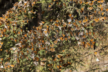 Monarch butterfly (Danaus plexippus)  In wintering from November to March in oyamel pine forests (Abies religiosa)  El Rosario  Reserve of the Biosfera Monarca  Angangueo  State of Michoacan  Mexico