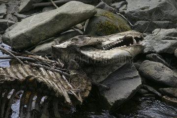Wild boar (Sus scrofa) skull on the edge of a river  Ardennes  Belgium