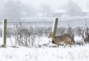 Chinese water deer (Hydropotes inermis) wlaking in a snow covered meadow  England