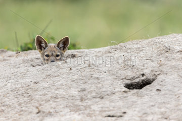 Jackal (Canis mesomelas)  young curious emerging from the termite mound where he is hidden with others from the range  Masai-Mara Reserve  Kenya