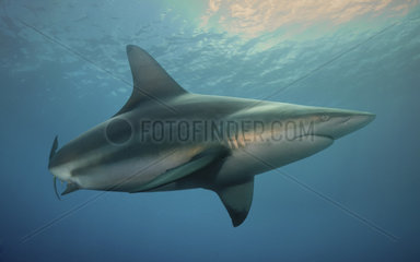 Copper shark  Bronze whaler or Narrowtooth shark (Carcharhinus brachyurus)  Composite image. Portugal.