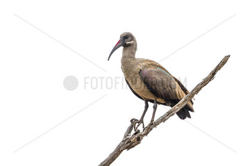 Hadada ibis (Bostrychia hagedash) in Kruger National park  South Africa