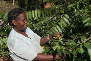 Récolte manuelle des fleurs d'Ylang-ylang à Mayotte