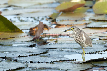 Chinese pond-heron (Ardeola bacchus) Adult in water lilies  Thailand