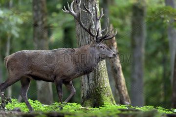 Red Deer (Cervus elaphus) male going to a bellowing place  Boutissaint Forest  Burgundy  France