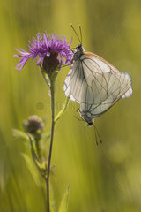 Black-veined white (Aporia crataegi) mating on a flower of meadow knapweed in a wet meadow in spring  Auvergne  France