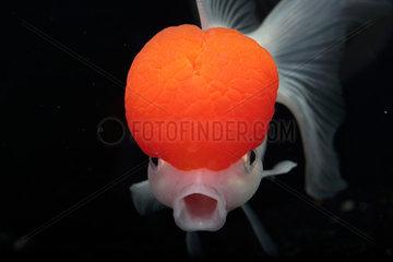 Goldfish (Carassius auratus) 'Red Cap Oranda' on black background