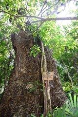 Guanacaste (Enterolobium cyclocarpum)  Punta laguna  Yucatan peninsula  Mexico