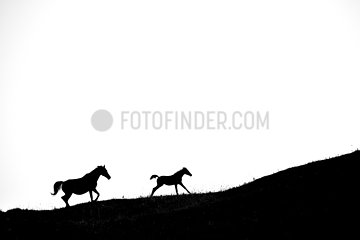 Silhouette of Mare and foal running on white background