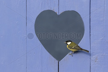 Great Tit (Parus major) perched in a heart shape form in a blue door  England