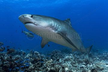 Front view Tiger shark (Galeocerdo cuvier)  Tahiti  French Polynesia